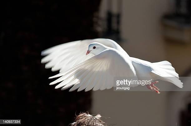 White pigeon in flight