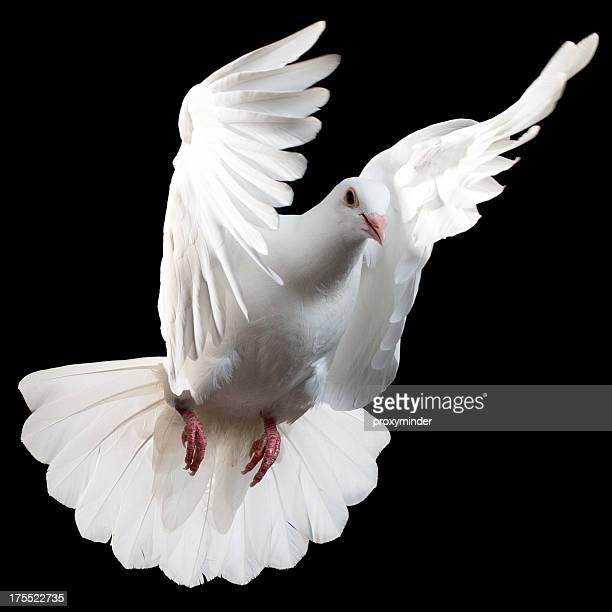 White pigeon isolé sur noir