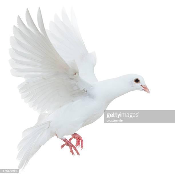 White pigeon isolé