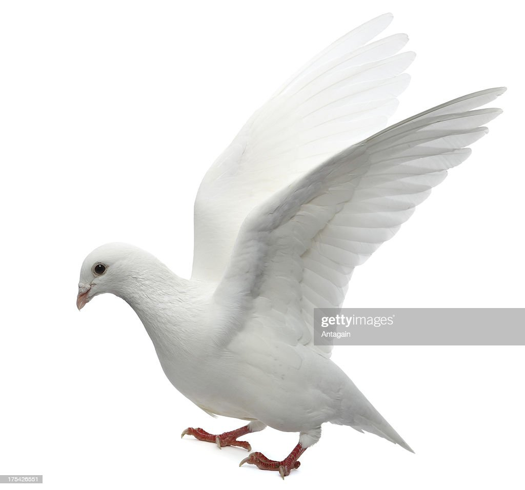 White Pigeon : Stock Photo