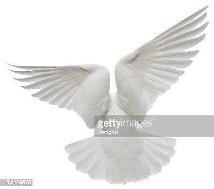 White Pigeon : Stock Photo