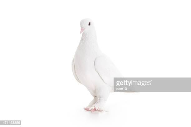 Bianco colomba