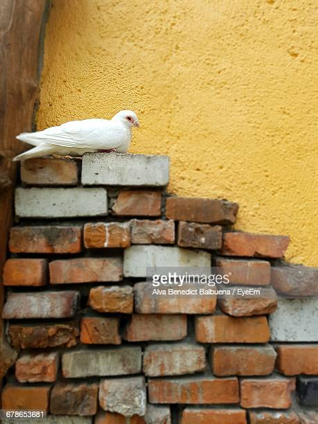White Pigeon Relaxing On Brick Stack Against Yellow Wall