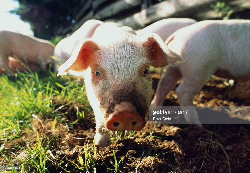 White piglet with litter, head shot ground view : Stock Photo