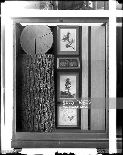 White Pine Monograph North American Timber series exhibit case Pinus strobus includes tree trunk black and white photograph of live tree map of where...