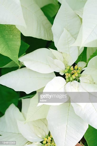Blanc Poinsettia