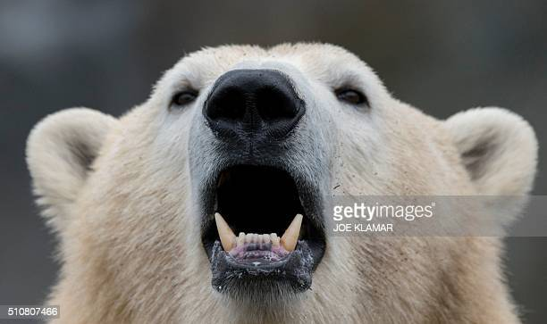 A white Polar bear rests at the Schoenbrunn Zoo in ViennaAustria on February 16 2016 Vienna Zoo located on the grounds of the famous Schoenbrunn...