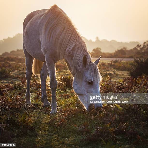 White pony eating grass in morning dew