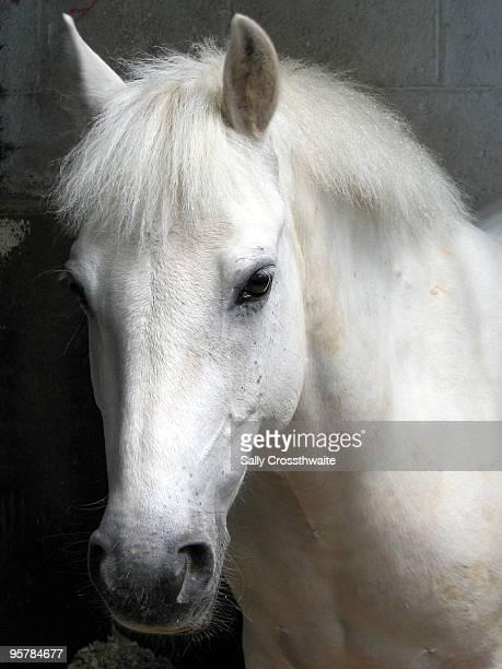 White pony