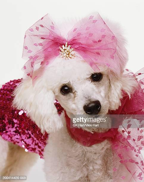 Blue Dyed Standard Poodle Pink Poodle Stock Phot...