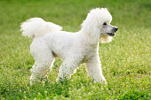 White poodle dog on green grass  field in spring or summer