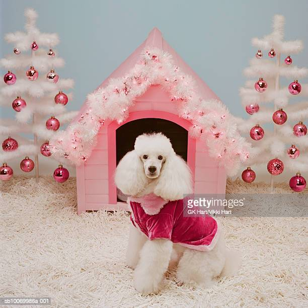 White poodle in front of pink doghouse and white Christmas Trees