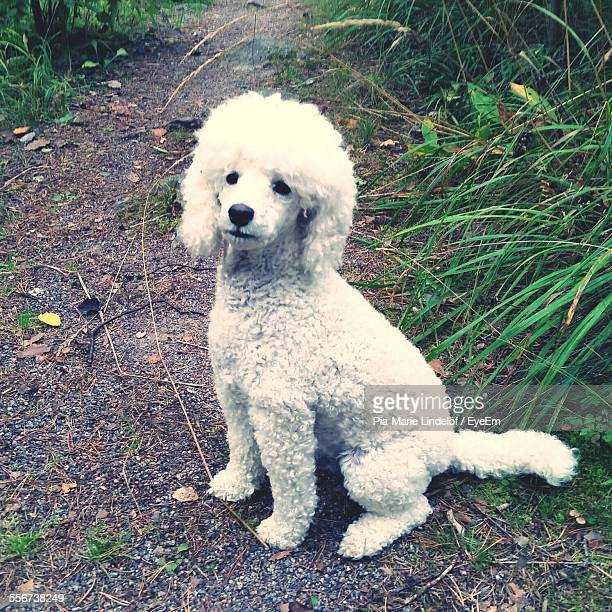 White Poodle Sitting On Footpath