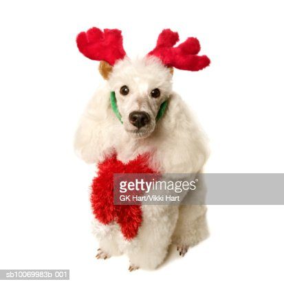 White poodle wearing red Christmas Antlers and red scarf, close-up : Stock Photo