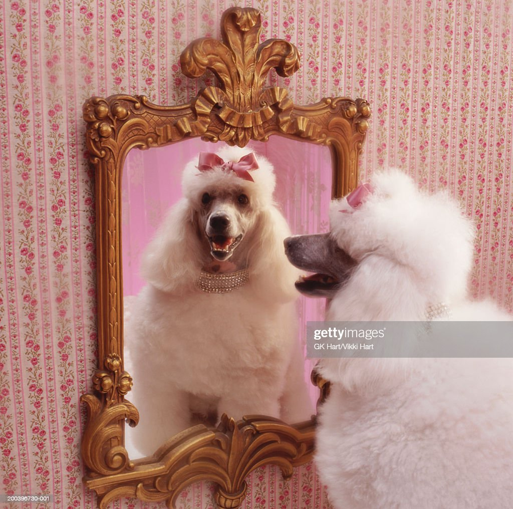 White poodle with reflection in  mirror in pink dressing room : Stock Photo