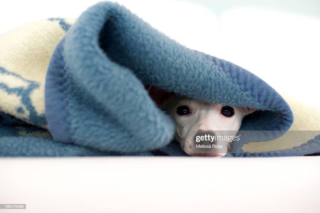 White puppy hiding under a blue blanket