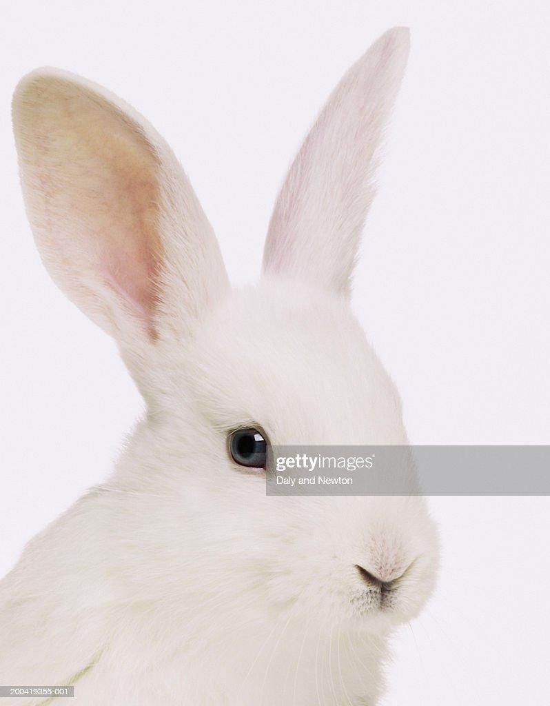 White rabbit (Oryctolagus cuniculus), close up : Stock Photo