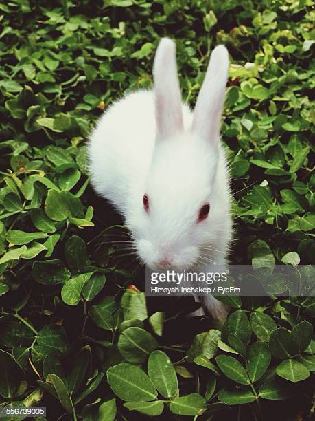 White Rabbit In Backyard
