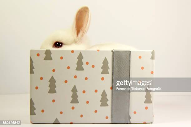 White rabbit inside a gift box