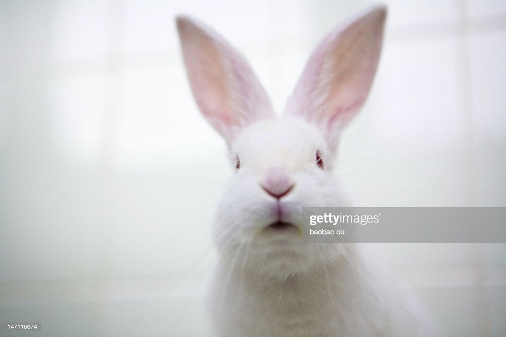 White rabbit looking at camera