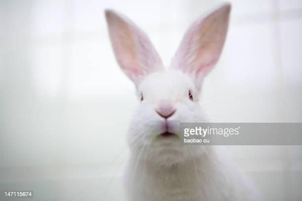 White rabbit looking at camera