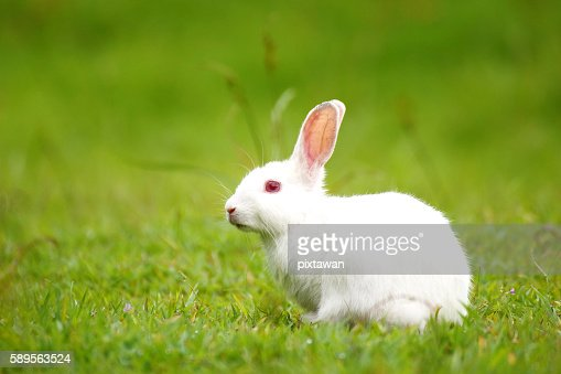 White Rabbit On Green Grass ス...