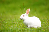 White rabbit on green grass.