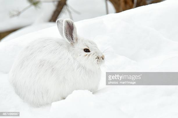 white hare huddled in the snow