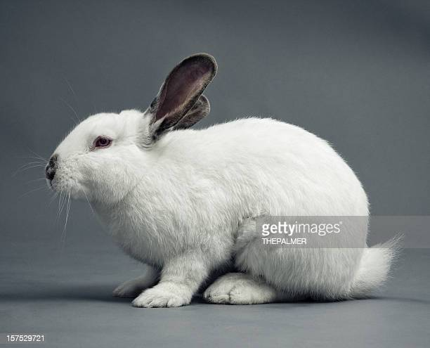 white Coniglio