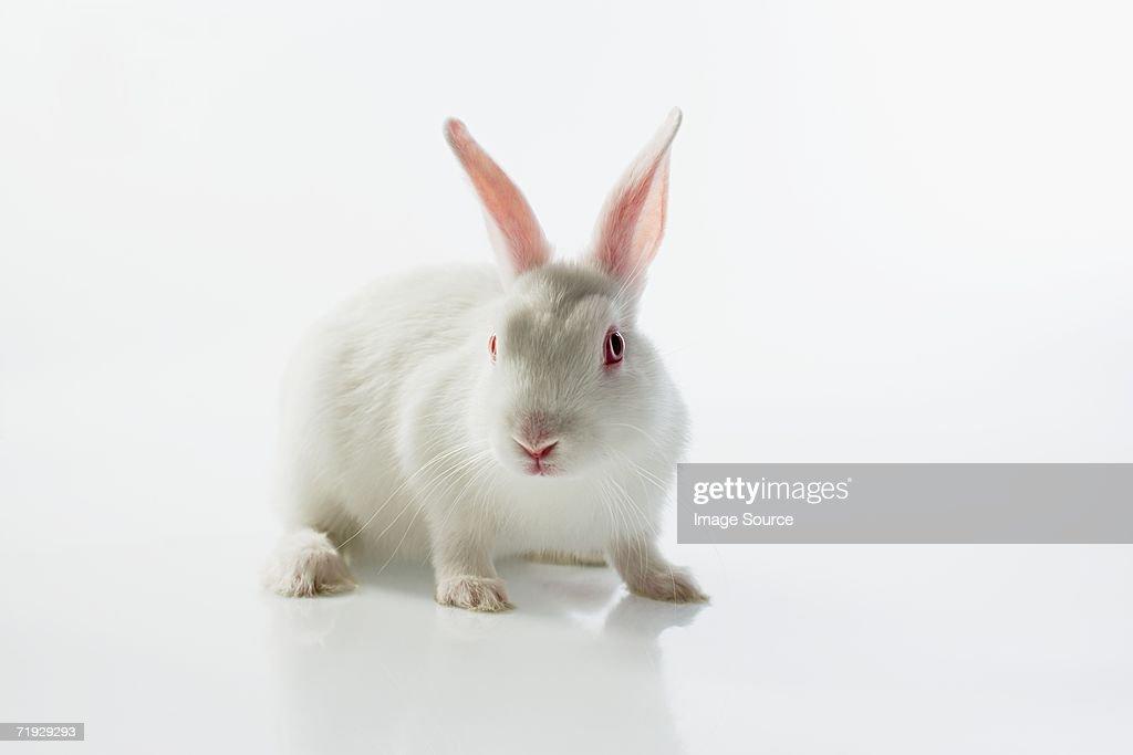 White rabbit : Stock Photo