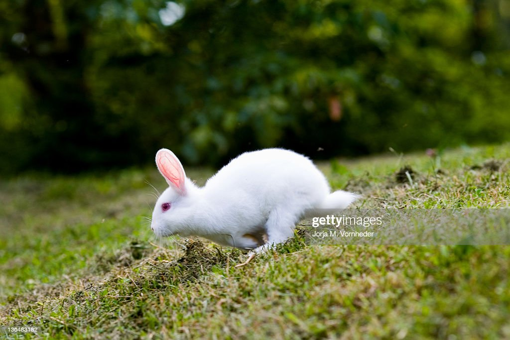 White rabbit running