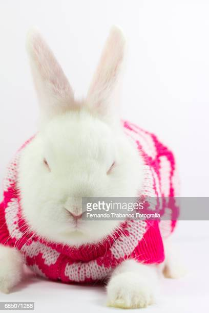 White rabbit sleeps wrapped in woolen pajamas, Oryctolagus cuniculus domesticus