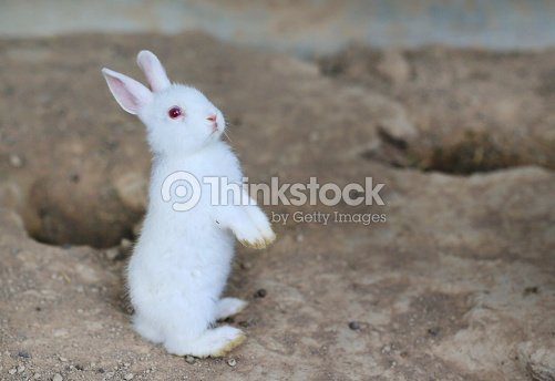 White Rabbit Standing On Its Hind Legs Stock Photo Thinkstock