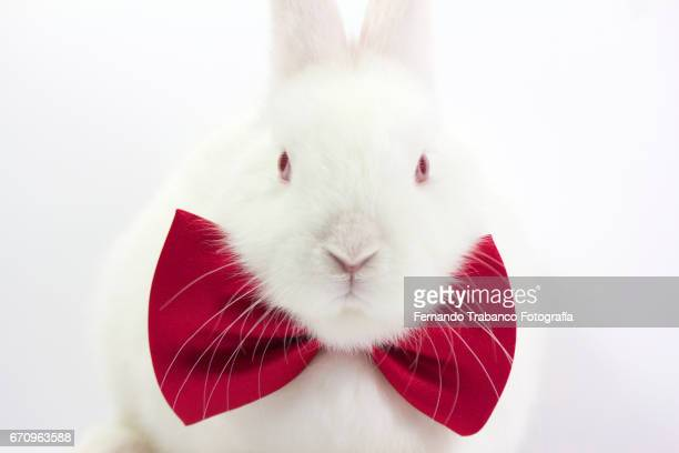 White rabbit with elegant red bow tie in fashion show (Oryctolagus cuniculus domesticus)
