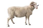 white ram isolated on white background