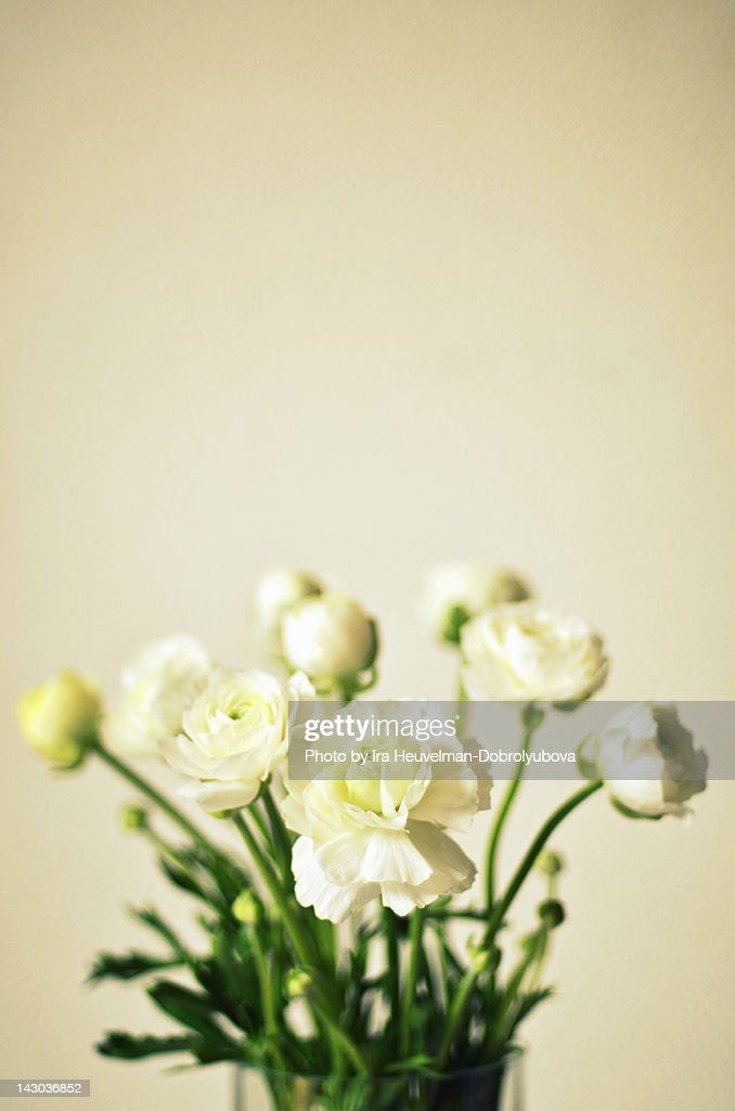 White ranunculus flowers : Stock Photo