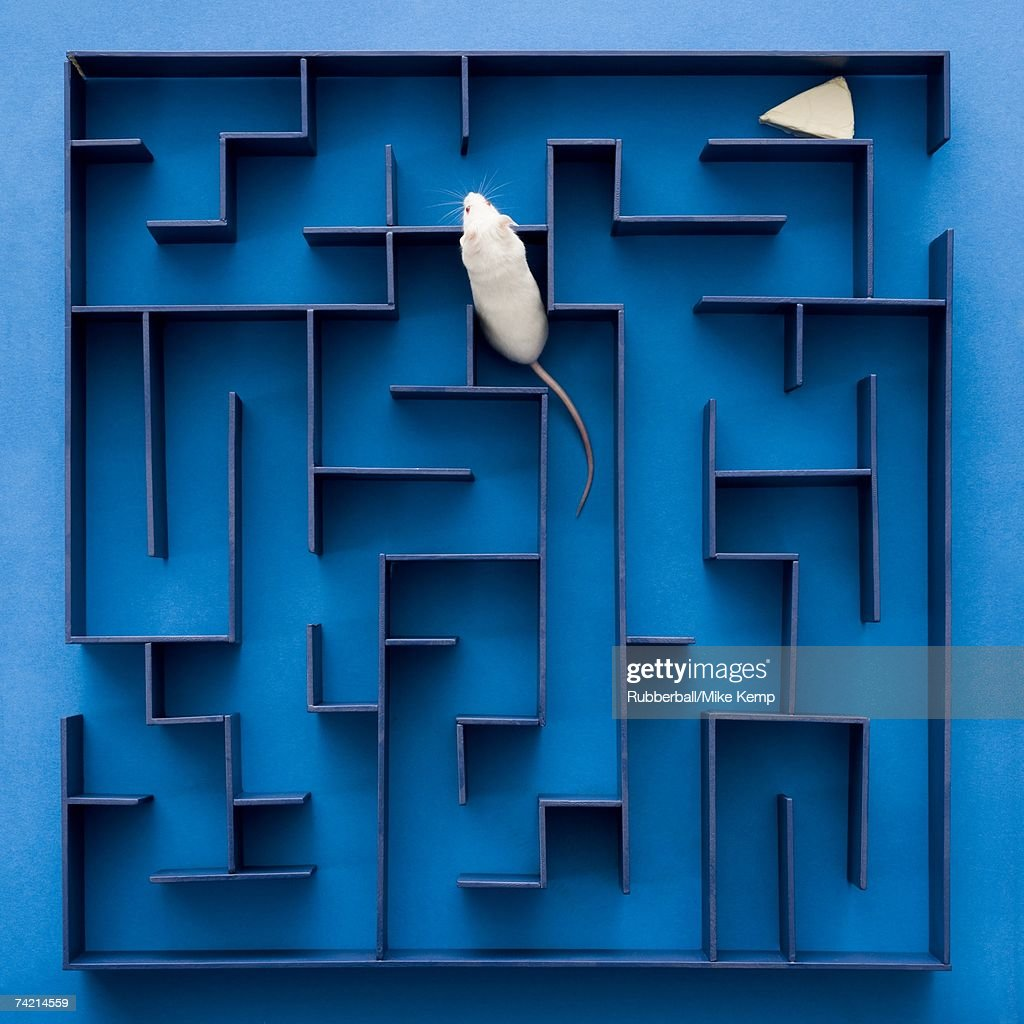 White rat or mouse crawling through maze with cheese
