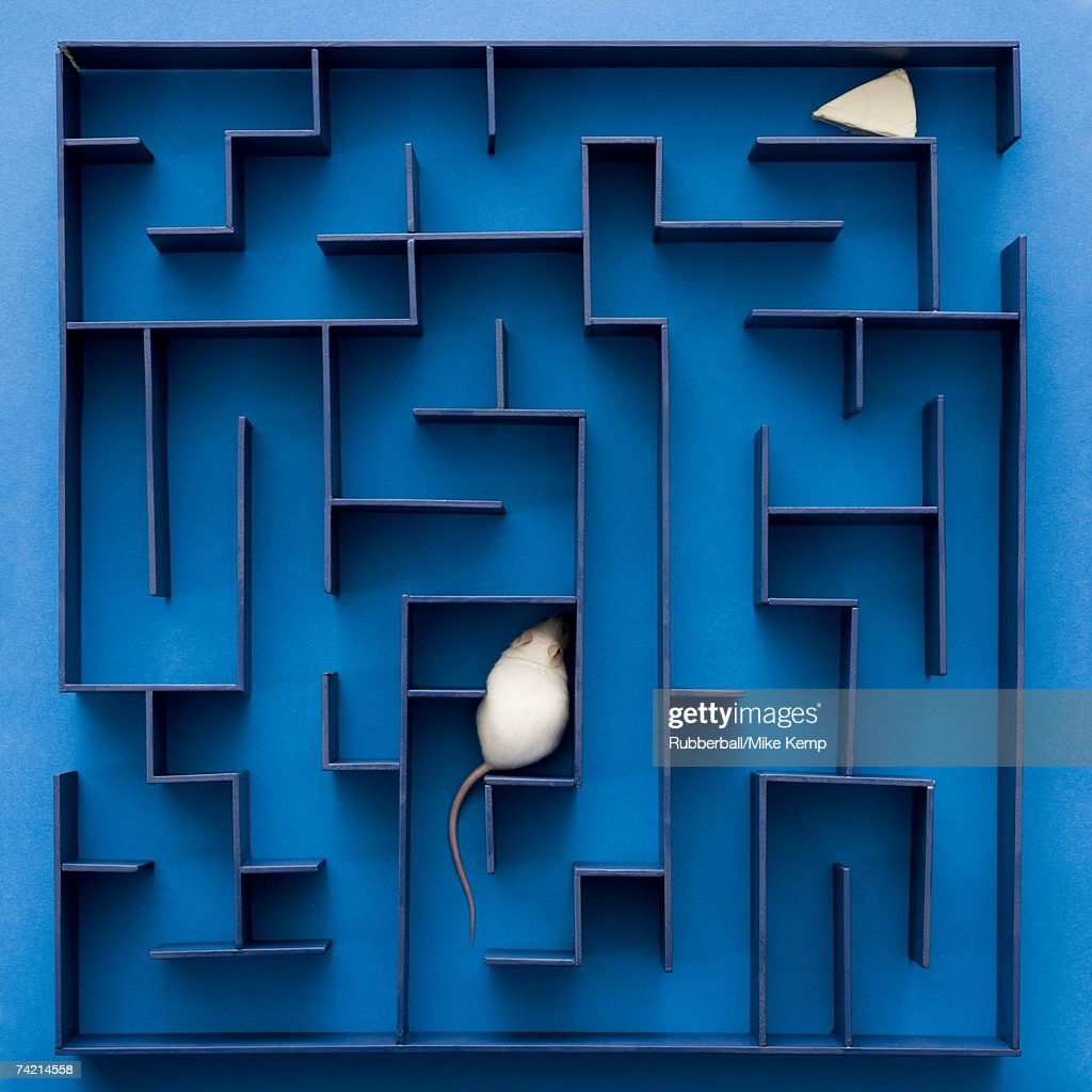 White rat or mouse stuck in maze with cheese