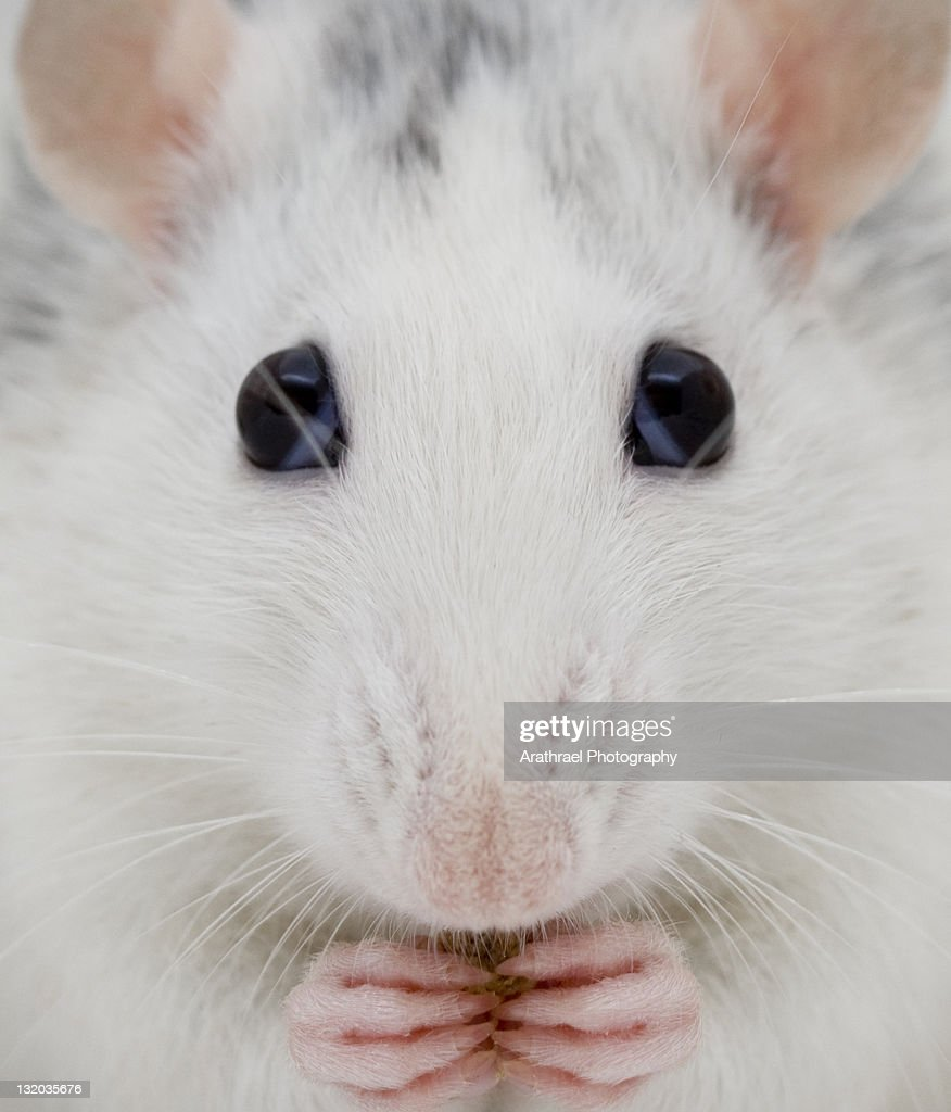 White rat : Stock Photo