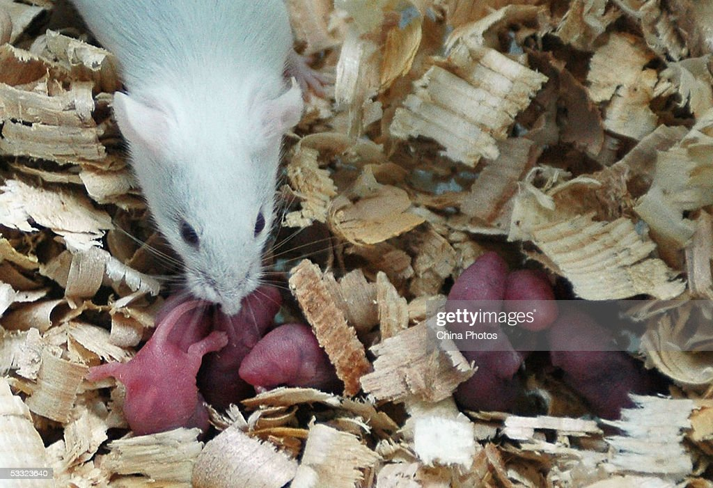 A white rat used for gene therapy research smells its babies just born at the State Key Laboratory of Biotherapy established by the West China Medical School of Sichuan University on August 3, 2005 in Chengdu of Sichuan Province, southwest China. The lab has carried out gene therapy, immunotherapy, cell therapy and other researches, using thousands of white rats, according to local media.