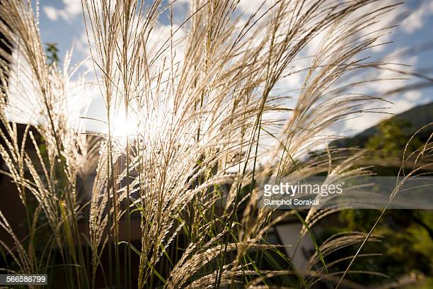 White reed in the sun