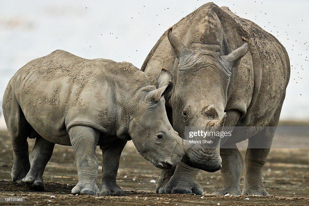 White Rhino and baby : Stock Photo