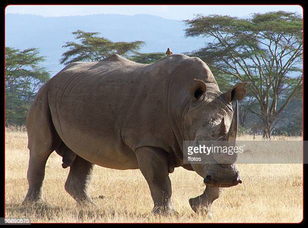white rhino  at Nakuru lake