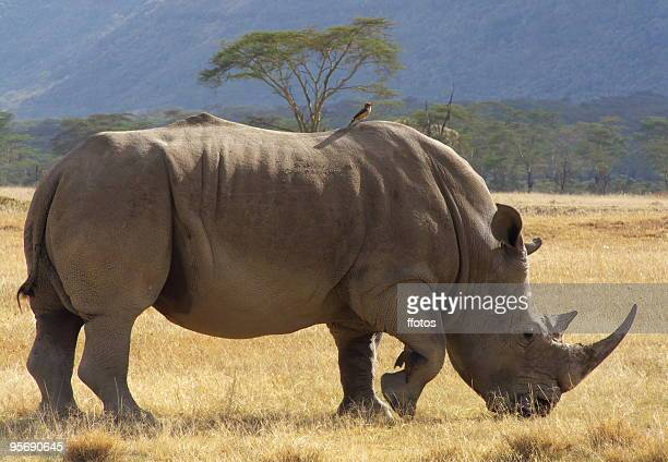 White rhino at the Nakuru Lake