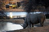 white rhino drinking, sighting from a safari car