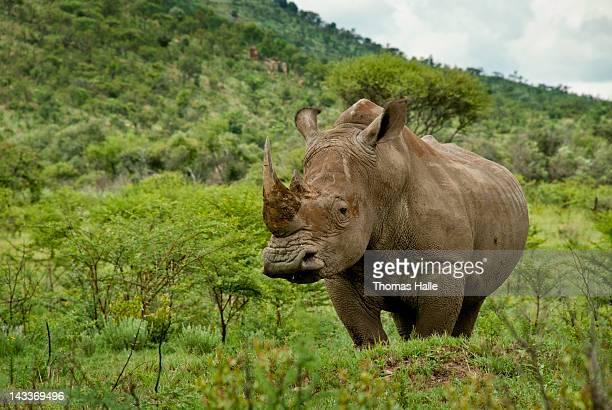 White rhino in green field