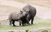 White Rhino Mother & Son