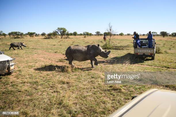 A white rhino stumbles as it begins to feel the effects of a tranquiliser dart before having it's horn trimmed at the ranch of rhino breeder John...