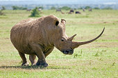 White Rhino with longest horn you shall ever see!