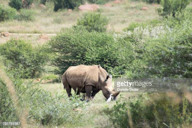 White Rhinoceros and Cattle Egret standing in grasslands, South Africa